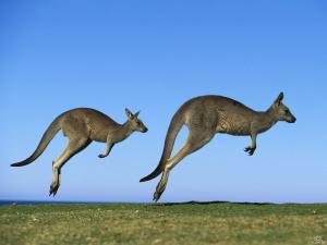 Hopping-Kangaroos
